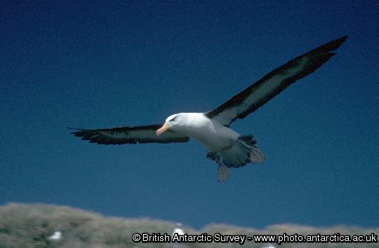 Black-browed Albatross (Thalassarche melanophrys)  in flight at Bird Island