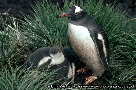 Penguin of the Day - 2012-11-18