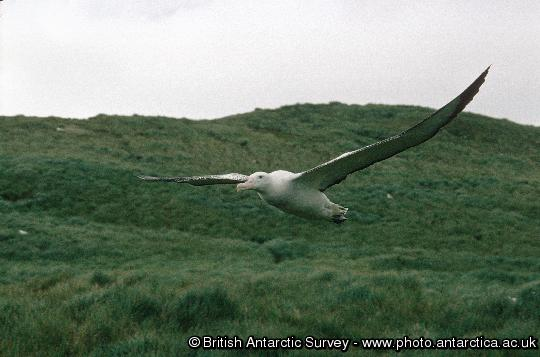 Wandering Albatross (Diomedea exulans) in flight over Top Meadows, Bird Island. Having such large wings makes take-off and landing from grassy slopes often appear very clumsy.