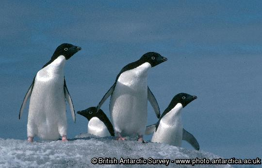 Penguin of the Day - 2013-02-06