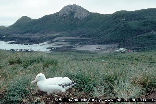 View of Bird Island Research Station from Wanderer ridge  with Wandering Albatross in the foreground