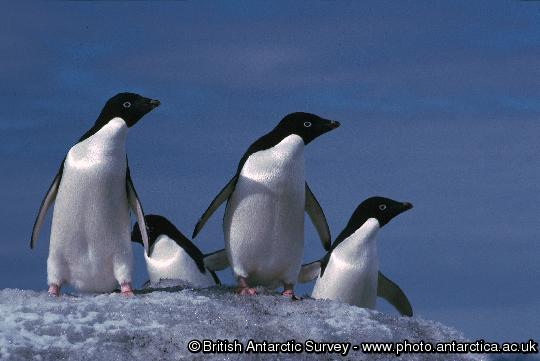Penguin of the Day - 2012-11-17