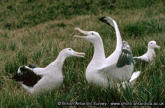 Wandering albatross mating display