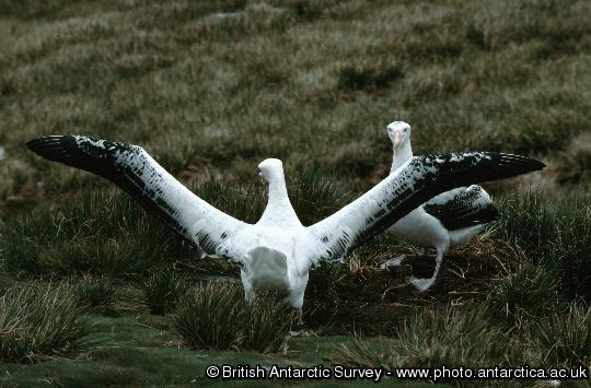 Adult Wandering Albatross display shortly after their return to Bird Island during early December