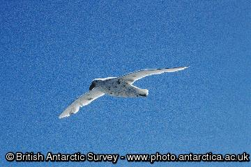 Southern Giant Petrel (Macronectes giganteus) in this case seen with a very light plumage.