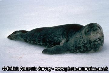 Weddell Seal (Leptonychotes weddellii) on ice