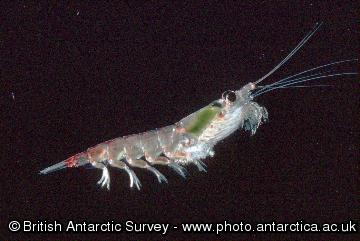 Antarctic Krill - Euphausia superba - these grow to a maximum size of 6cm, occurring in dense swarms.