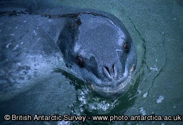 Adult leopard seal (Hydrurga leptonyx)