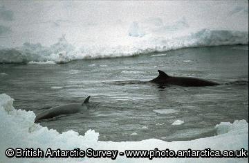 Minke Whales (Balaenoptera acutorostrata)