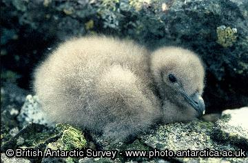 Skua chick on  Rothera Point, Adelaide Island, Antarctica