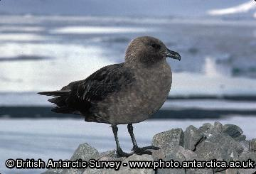 South Polar Skua.
