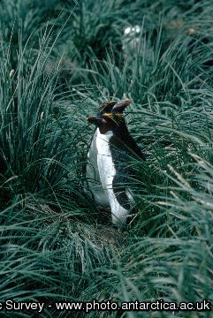 Macaroni Penguin (Eudyptes chrysolophus) in Tussac grass on South Georgia