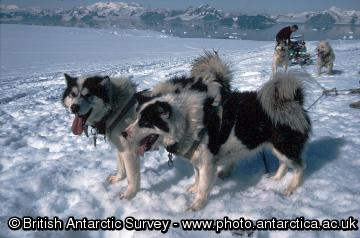 Huskies in a trace about to pull a sledge