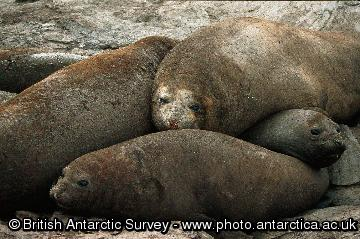 Southern elephant seals (Mirounga leonina) in a wallow on Signy Island. Elephant seals are highly thigmotatic on land and are often found in large groups literally lying on top of each other. They have to come ashore to moult, and it is thought that they may form these groups to reduce heat loss.