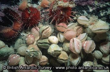 A group of the Antarctic brachiopods