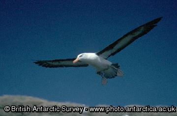 Black-browed Albatross (Thalassarche melanophrys)  in flight at Bird Island
