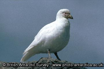 Greater or Snowy Sheathbill (Chionis alba), the only land bird to survive in the Antarctic. Most sheathbills migrate to the Falkland Islands or South America for the winter.