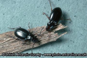 Predatory carabid beetles