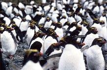 macaroni penguins in the 'big mac'  colony, Bird Island, South Georgia. This image is associated with the 2005-2010 BAS science programme: DISCOVERY 2010- Integrating Southern Ocean Ecosystems into the Earth System.