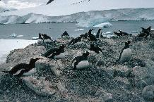 Gentoo Penguin (Pygoscelis papua) colony at Damoy, on the Antarctic Peninsula