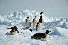 Emperor Penguins on sea ice near Halley