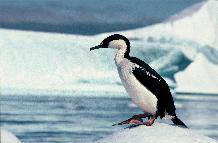 Blue-eyed shag on an ice floe close to  Rothera Point, Adelaide Island, Antarctica