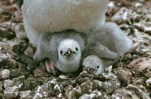 Chinstrap penguin chicks (Pysoscelis antarctica)