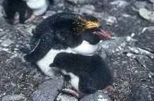 Macaroni Penguin and chick at Macaroni Cwm, Bird Island
