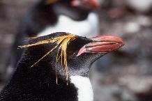 Adult male Macaroni Penguin (Eudyptes chrysolophus)