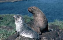 Antarctic Fur seal and pup on Bird Island, South Georgia