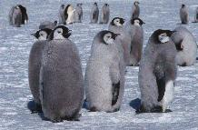 Emperor penguins chicks on the sea ice close to Halley Research Station on the Brunt Ice Shelf
