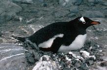 Gentoo Penguin (Pygoscelis papua) on a nest at  Damoy on the Antarctic Peninsula
