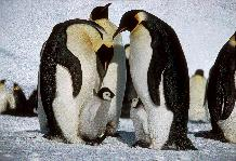 Adult Emperor Penguins (Aptenodytes forsteri)