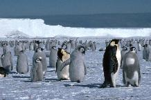 Emperor Penguins on the sea ice close to the Brunt Ice Shelf in the Weddell Sea,  Antarctica