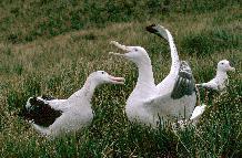 Wandering albatross mating display