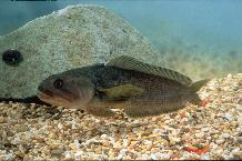 Notothenia coriiceps, the bullhead Notothen or yellow rock-cod. A common inshore Antarctic fish.