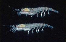 Krill - Euphausia superba. Antarctic krill. The Antarctic Krill (Euphausia superba)  a key species in the Antarctic food chain. These grow to a maximum size of 6cm, occurring in dense swarms.