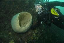 Marine Biologist encounters a giant sponge nearly 20m below the surface.  Gigantism may have played a role in the success of some Antarctic marine animals and is one aspect of efforts to understand how evolution has responded to climate change in the past.  This image is associated with the 2005-2010 BAS science programme: BIOFLAME - Biodiversity, Function, Limits and Adaptation from Molecules to Ecosystems.