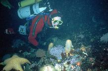 Diver (Alice Chapman) inspecting benthic community 20m under sea ice near Rothera in winter 1997.