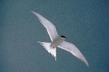 Arctic Tern (Sterna vittata) in flight