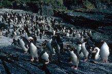 Macaroni Penguins (Eudyptes chrysolophus) coming ashore at South Georgia