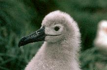 Black-browed Albatross chick (Thalassarche melanophrys)