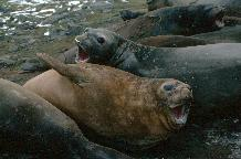 Southern elephant seals (Mirounga leonina) in a wallow on South Georgia. Elephant seals are highly thigmotatic on land and are often found in large groups literally lying on top of each other. They have to come ashore to moult, and it is thought that they may form these groups to reduce heat loss.