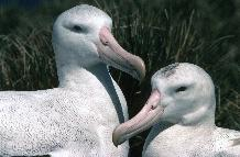 A pair of wandering albatross (Diomedea exulans), the male on the left has a heavier beak compared with the female who has more dark feathers on the crown.