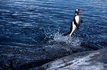 Gentoo Penguin (Pygoscelis papua) leaping out of water