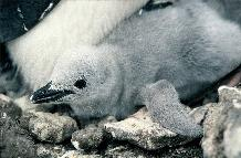 Chinstrap penguin chick on Bellingshausen Island, South Sandwich Islands