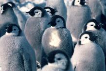 Emperor penguin chicks on the sea ice close to Brunt Ice Shelf