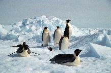 Emperor Penguins on sea ice near Halley