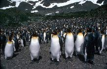 King penguins (Aptenodytes patagonicus) provide a real wildlife spectacle on the island of South Georgia, where 400,000 pairs breed. These birds were photographed at Royal Bay, South Georgia.