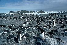 Adelie Penguin Colony (Pygoscelis adeliae) during incubation